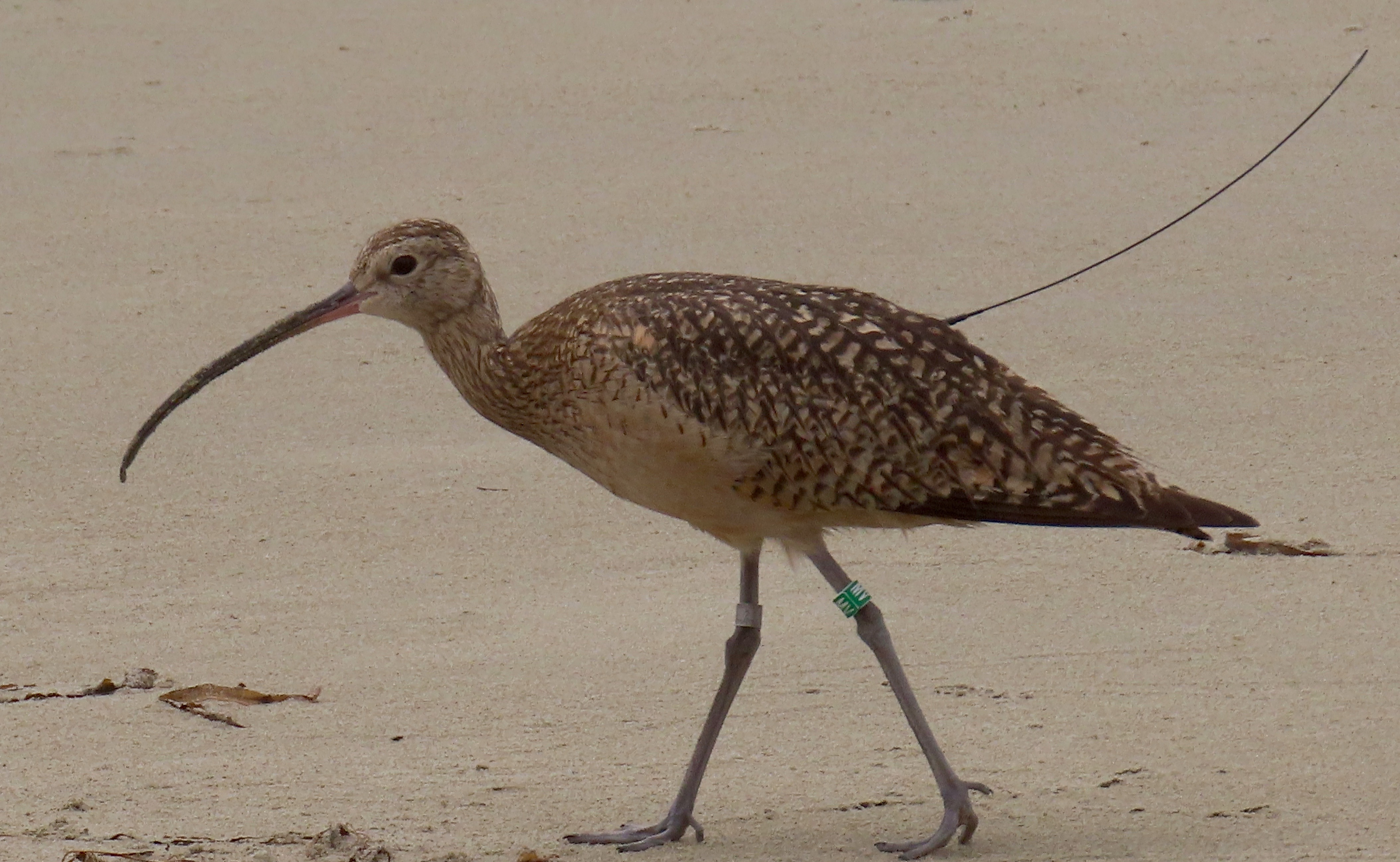 a curlew standing on sand. A thin antenna is visible sticking out from his back feathers. He has a green leg band on one leg and a metal band around the other.
