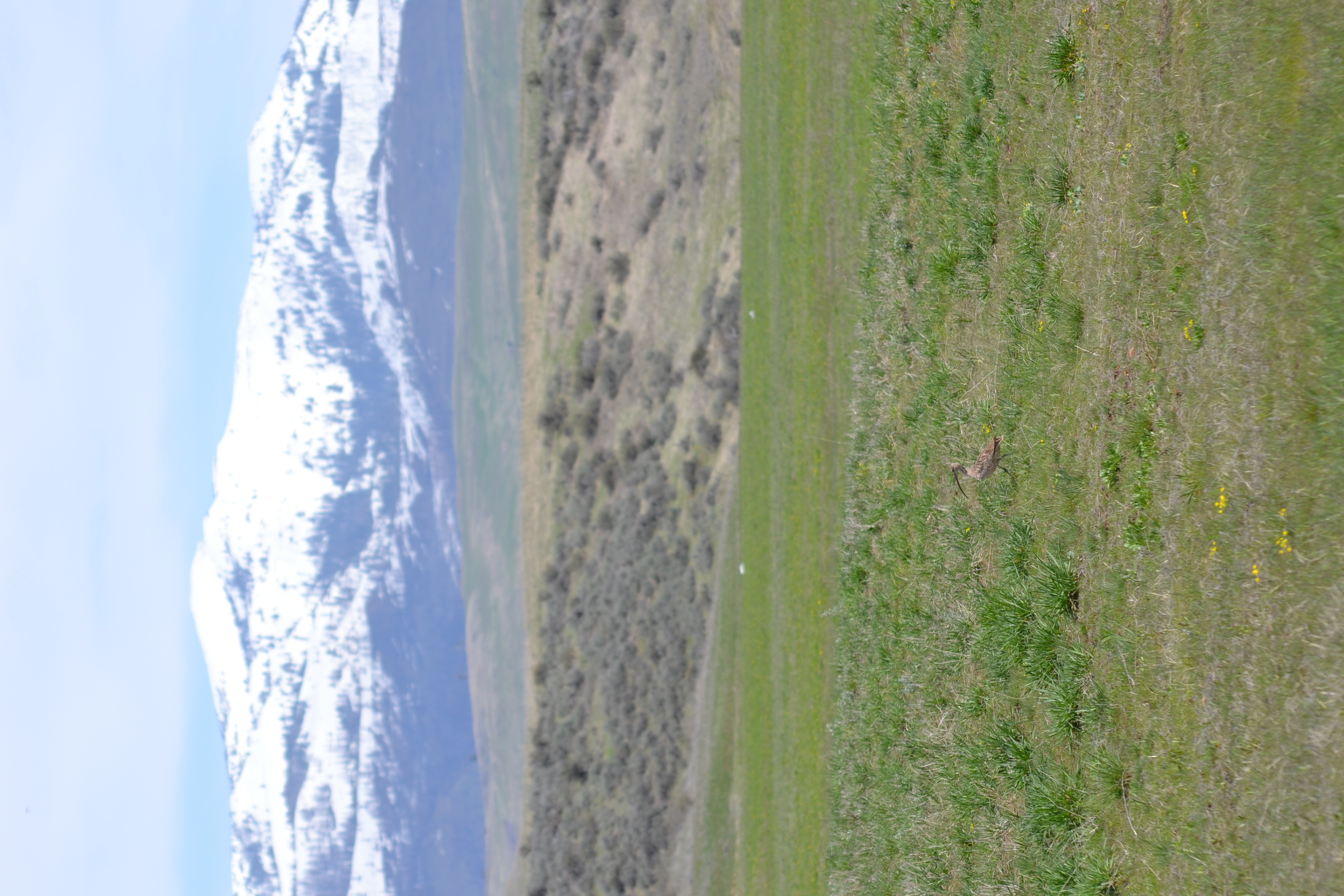a curlew stands in a grassy field with sagebrush in the background and snow-covered mountains in the distance