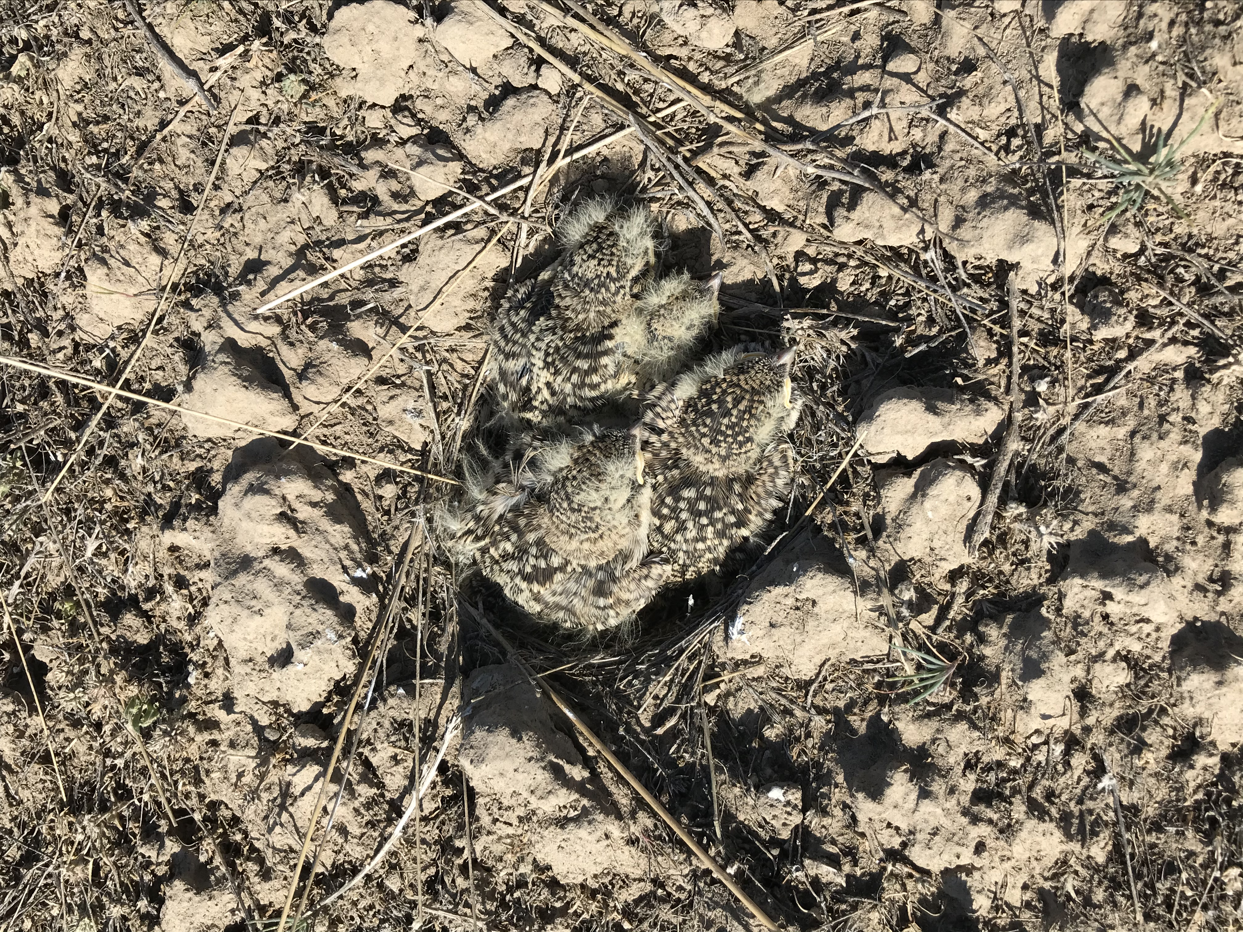 three very camouflaged brown speckled chicks huddle together in a small impression in the dirt. Not much of a nest structure is visible