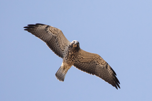 a hawk with long pointed wings soars overhead