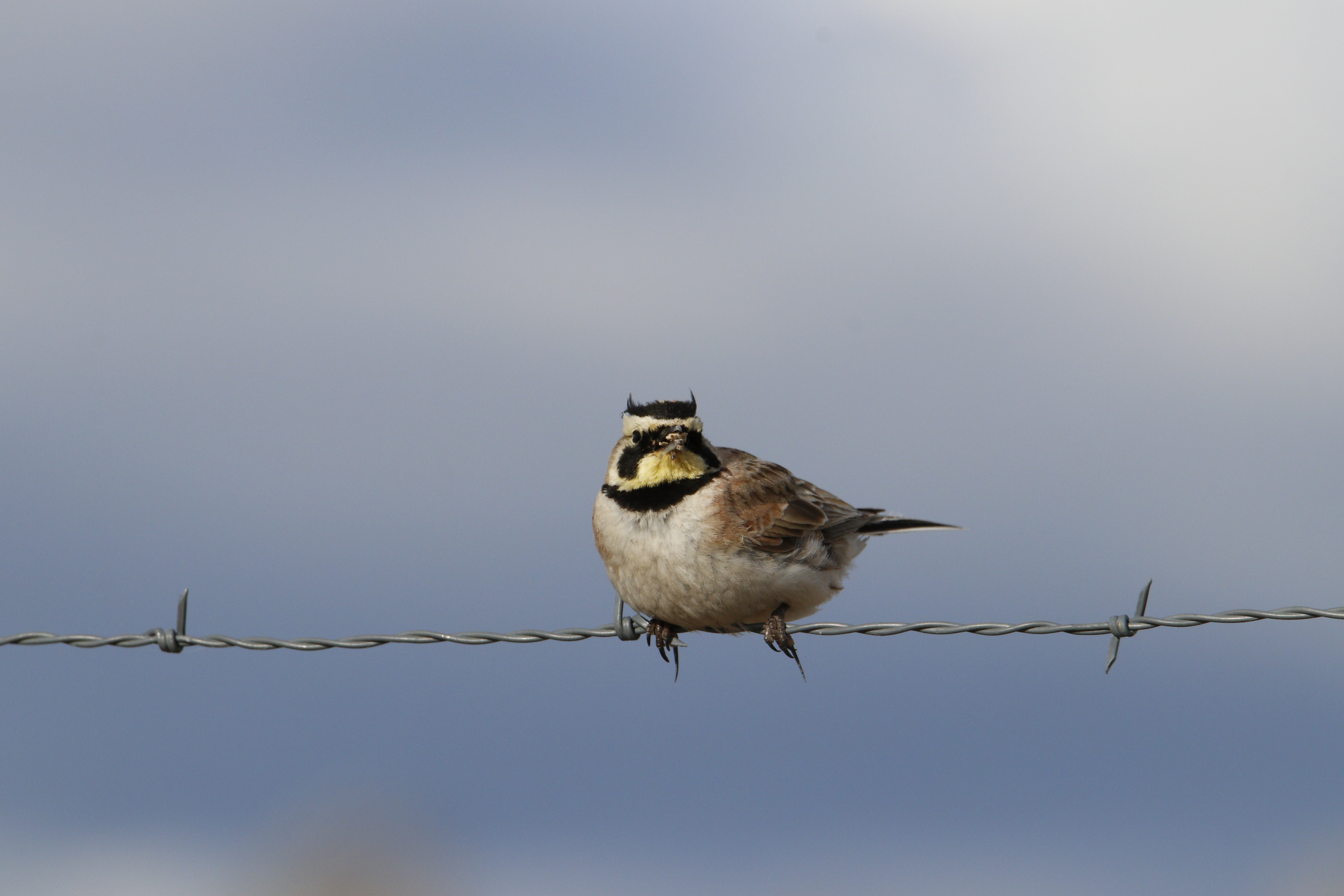 a horned lark, with brown body, yellow face, and two black feather tufts on its head give the appearance of horns