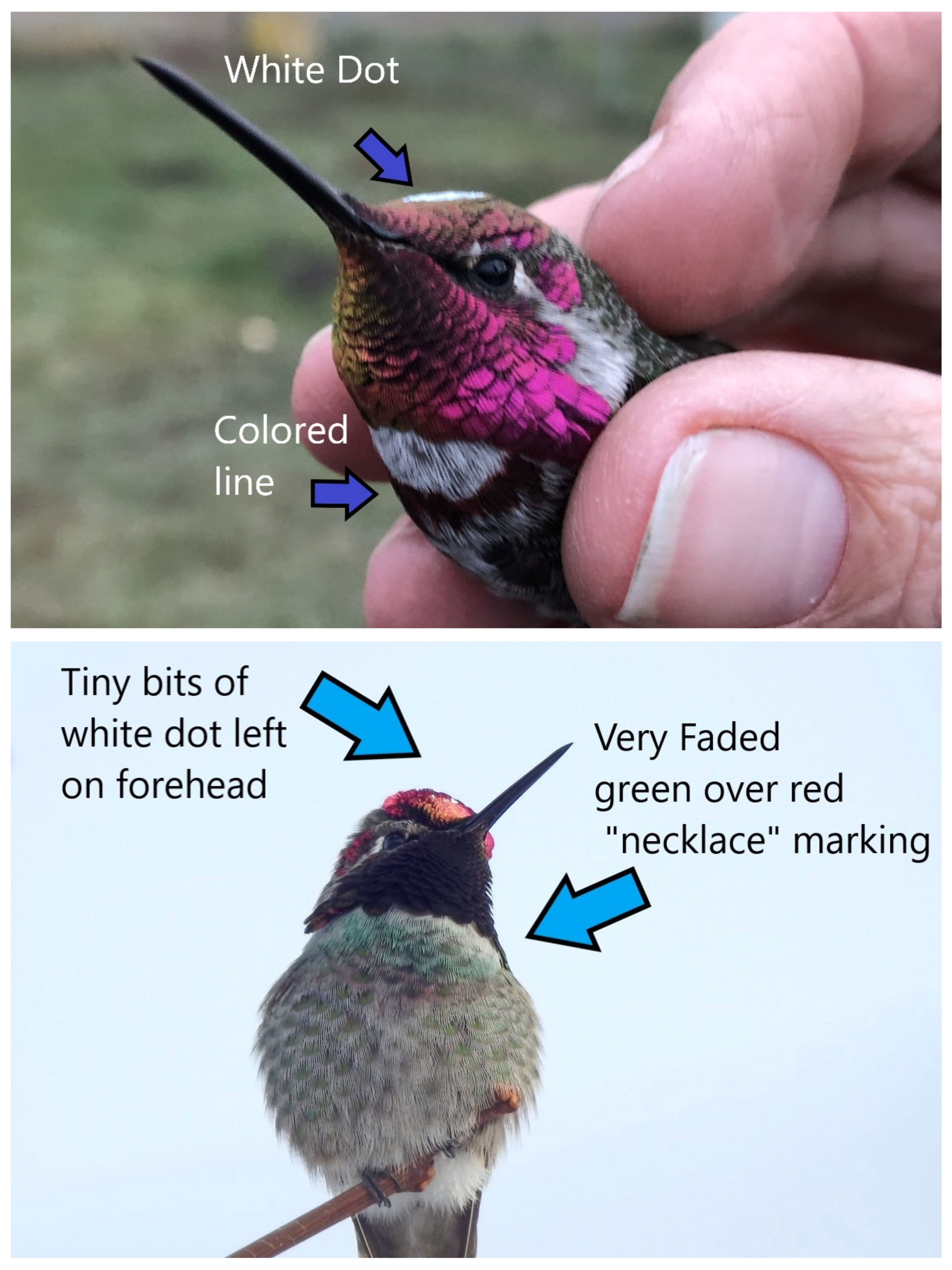 images show a hummingbird with a colored ink spot on its upper chest and a white dot on its crown. arrows and text point out and label these markings