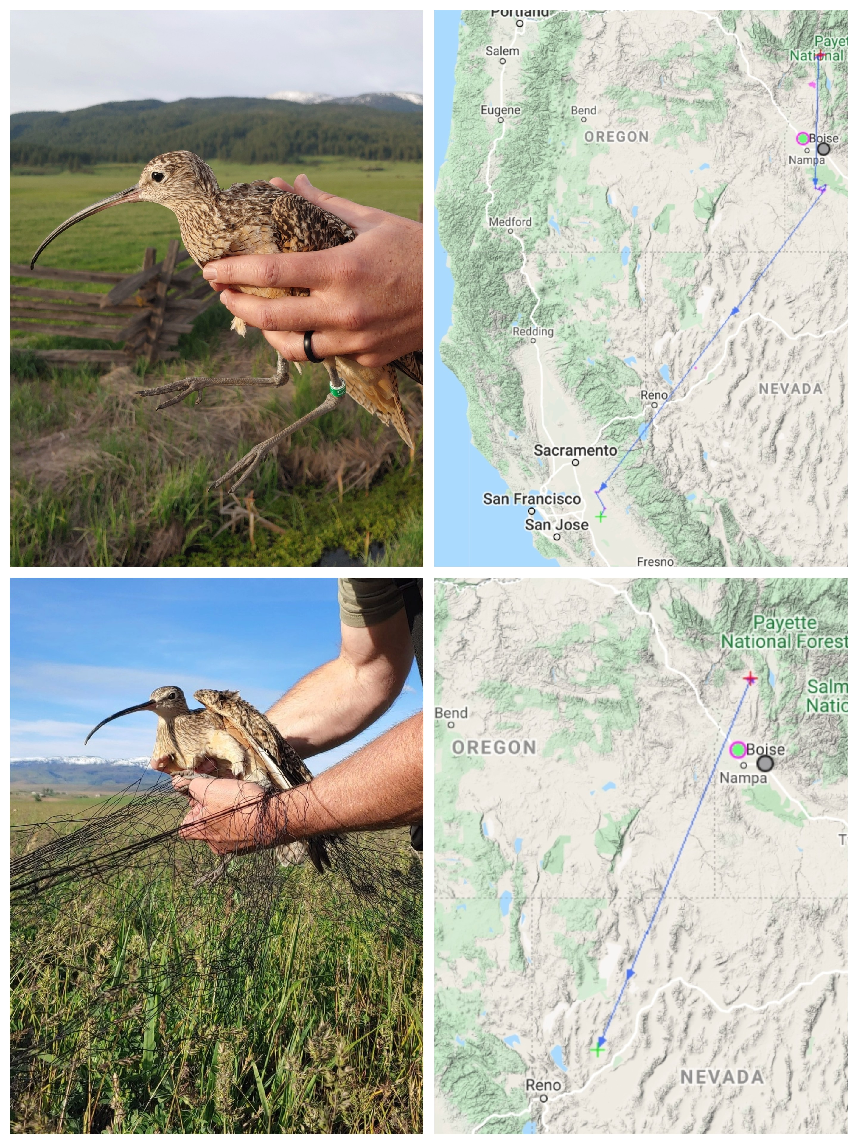 photo collage of two curlews next to the map of their respective movements. The top curlew, Neil's, map shows a journey from Idaho to the central valley of California. Dozer's map shows a journey from Idaho to a location northeast of Reno, Nevada.