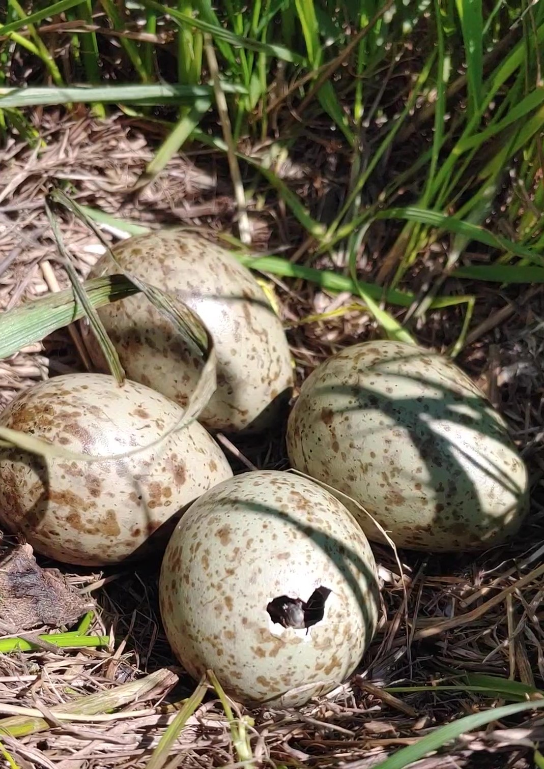Four speckled eggs. One egg has a cracked hole in it with a small bird bill poking out
