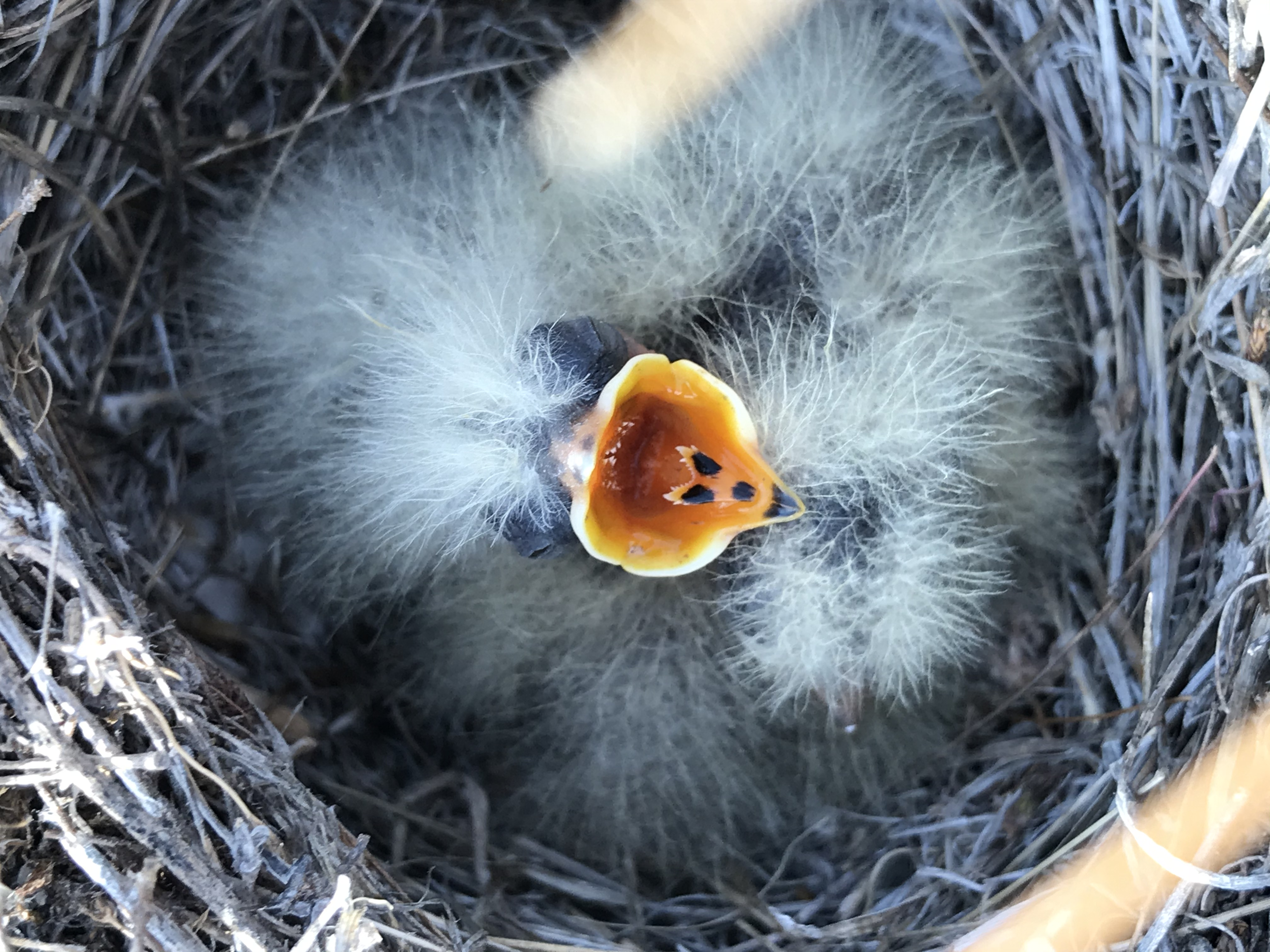 a closeup view of a nest with very downy chicks. They are so fluffy that it's hard to make out individual chicks, but one is facing the camera with a bright yellow mouth wide open begging for food