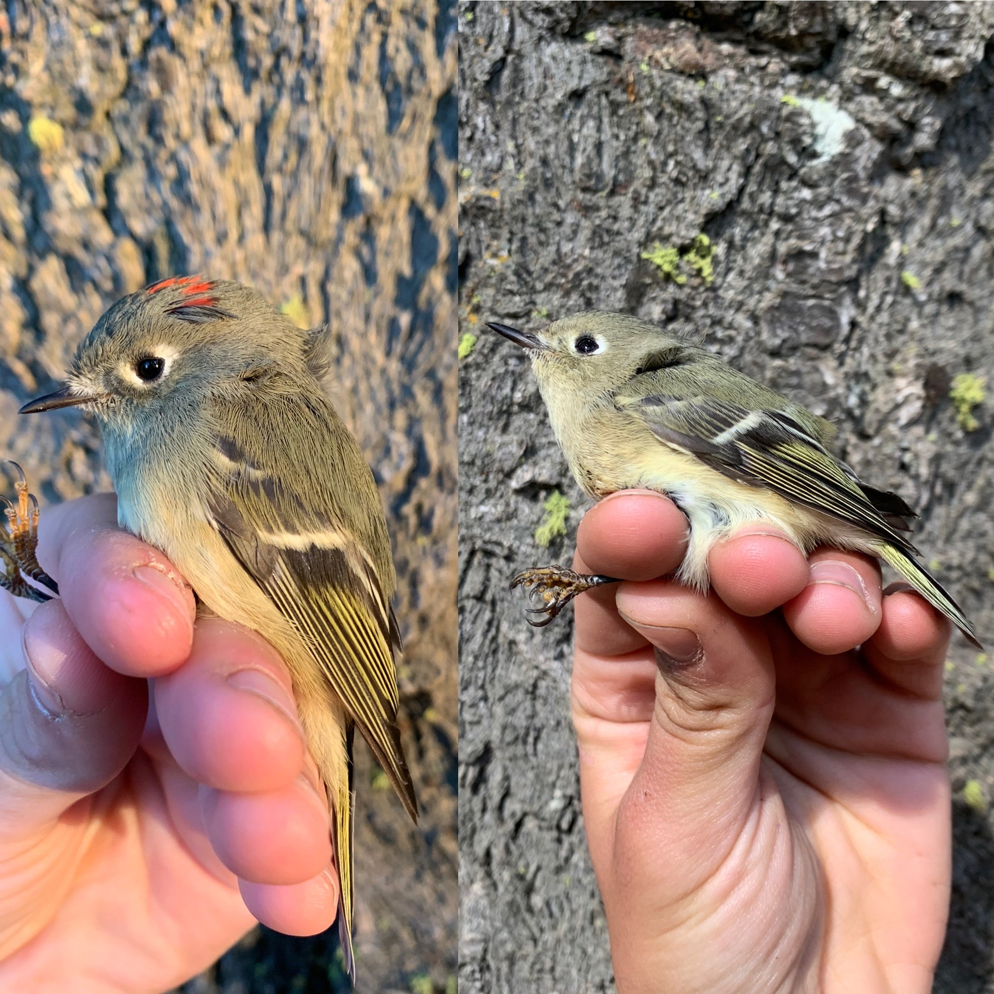 two images show small gray songbirds held by biologists' hands. One bird has a small red spot of feathers on its head