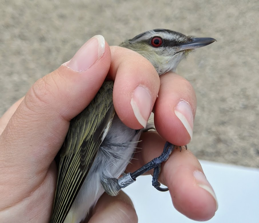 a biologists hand holds a small songbird with a red eye and black and white striped face. The bird has a small metal band on its leg