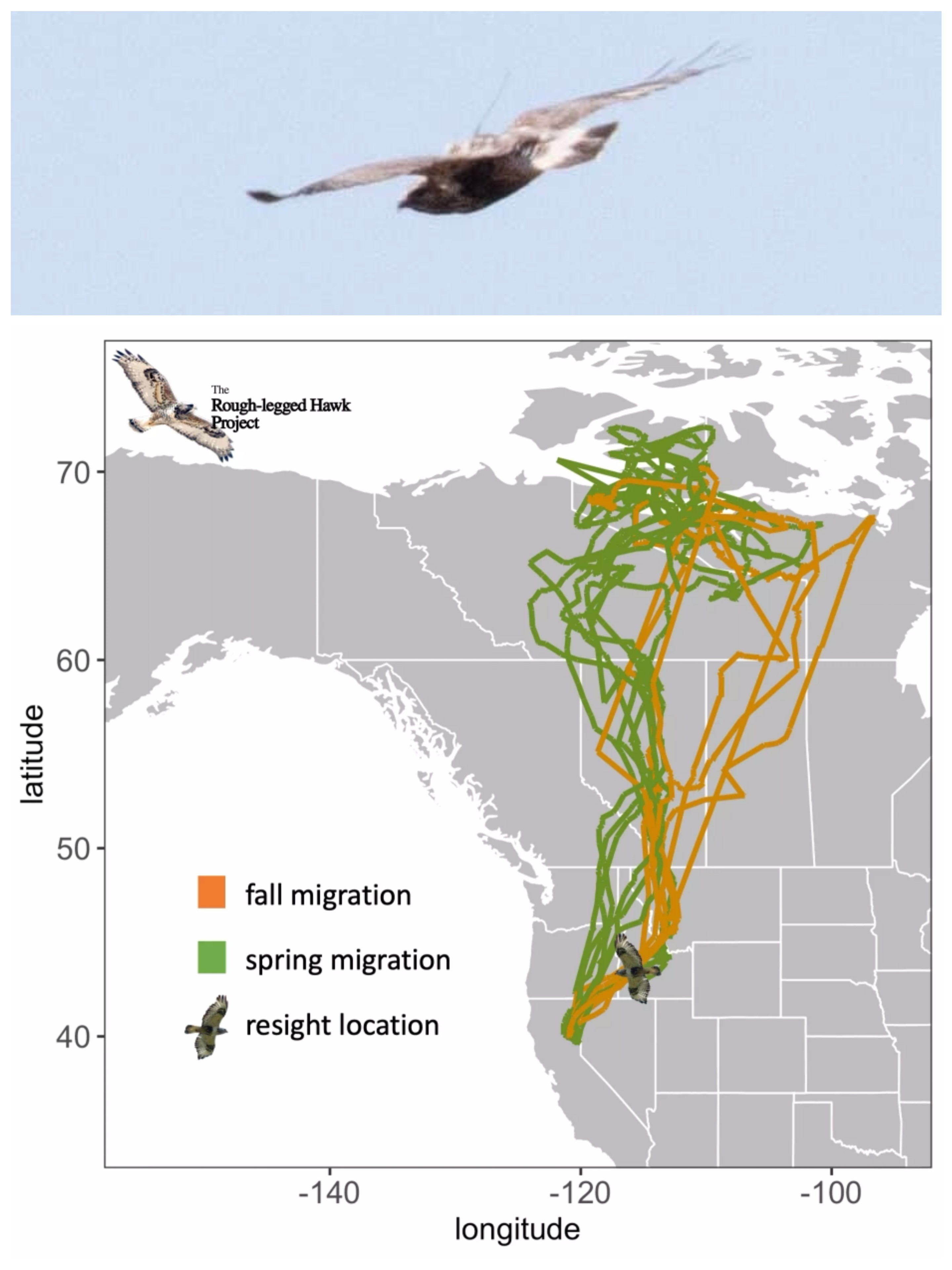 top image is a grainy photo shows a soaring hawk with a small antenna visible on its back. Lower image is a map of North America with tracks from this hawk. The tracks show spring migration from northern california with a wandering track leading north to the islands above Canada. Fall migration shows a wandering zigzag path leading south back to the starting location in california