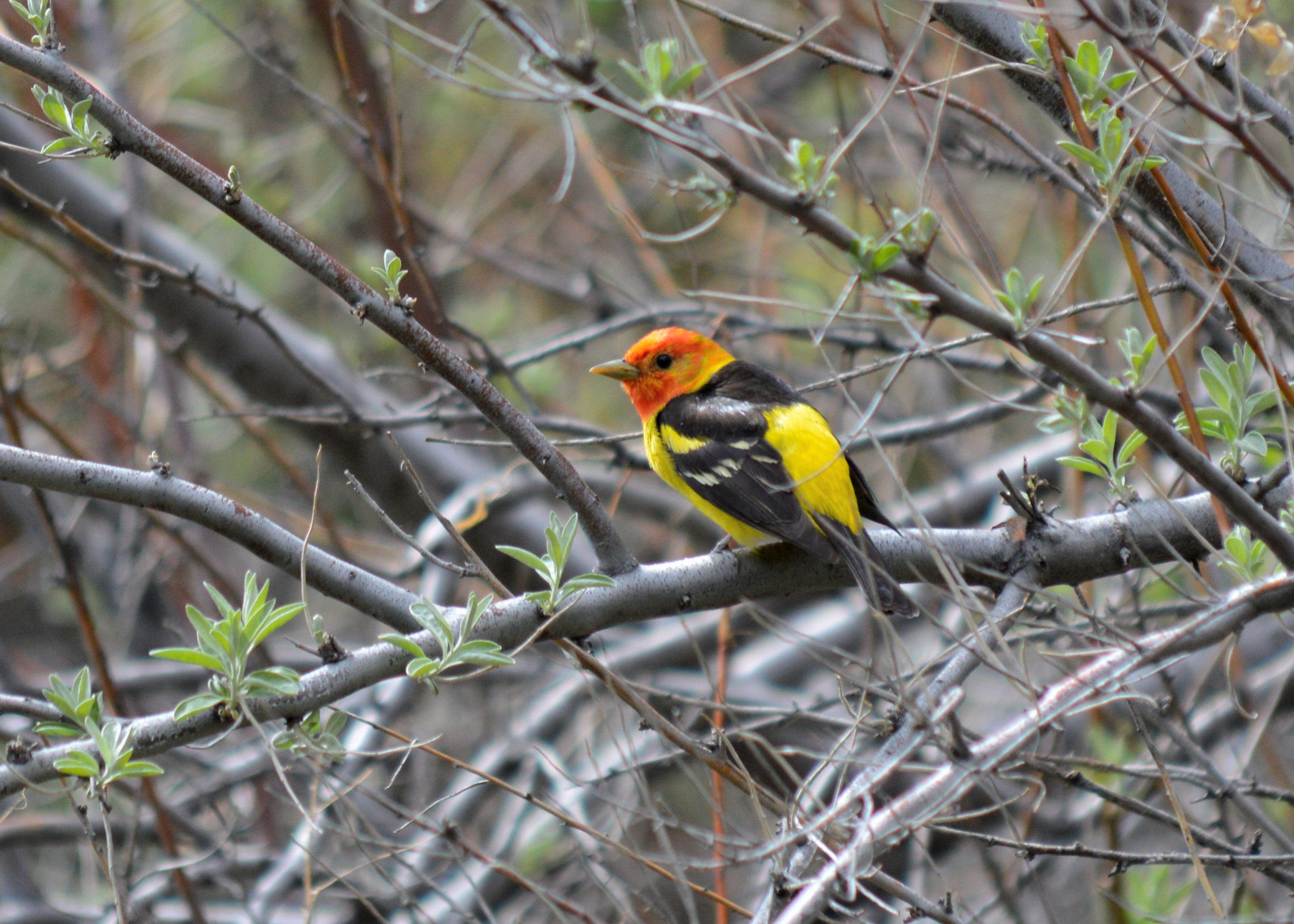 a brightly colored songbird with striking red head, yellow body, black wings