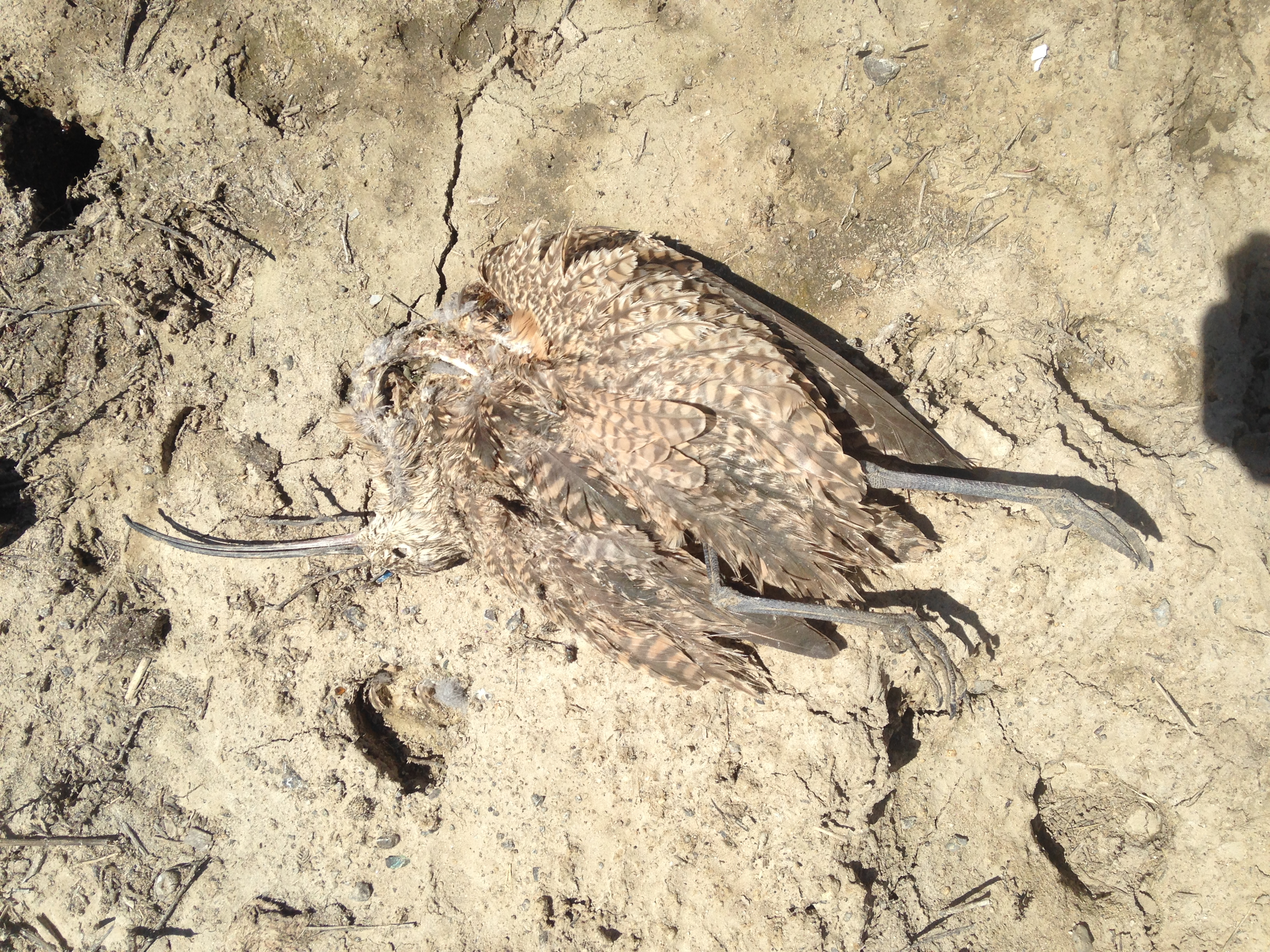a dried dead curlew carcass lays sprawled in the dust