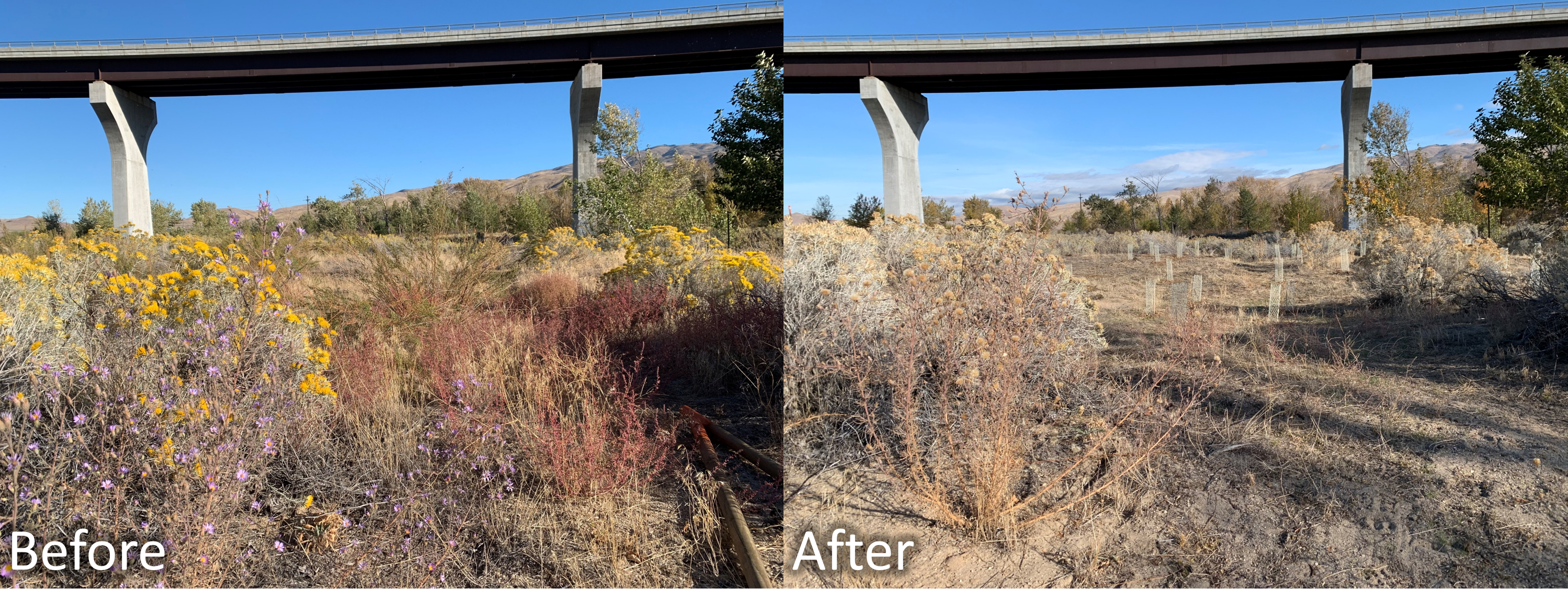 "the ""before"" image shows an area cluttered with weeds, but surrounded by blooming rabbitbrush (yellow) and aster (purple). The after image shows the same view, but the weeds are cleared out and small mesh cages surround newly planted seedlings"