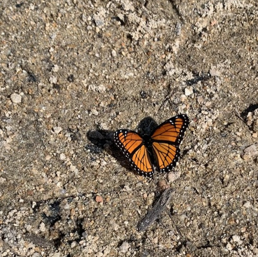an orange and black butterfly, that looks like a Monarch butterfly, sits on moist sand