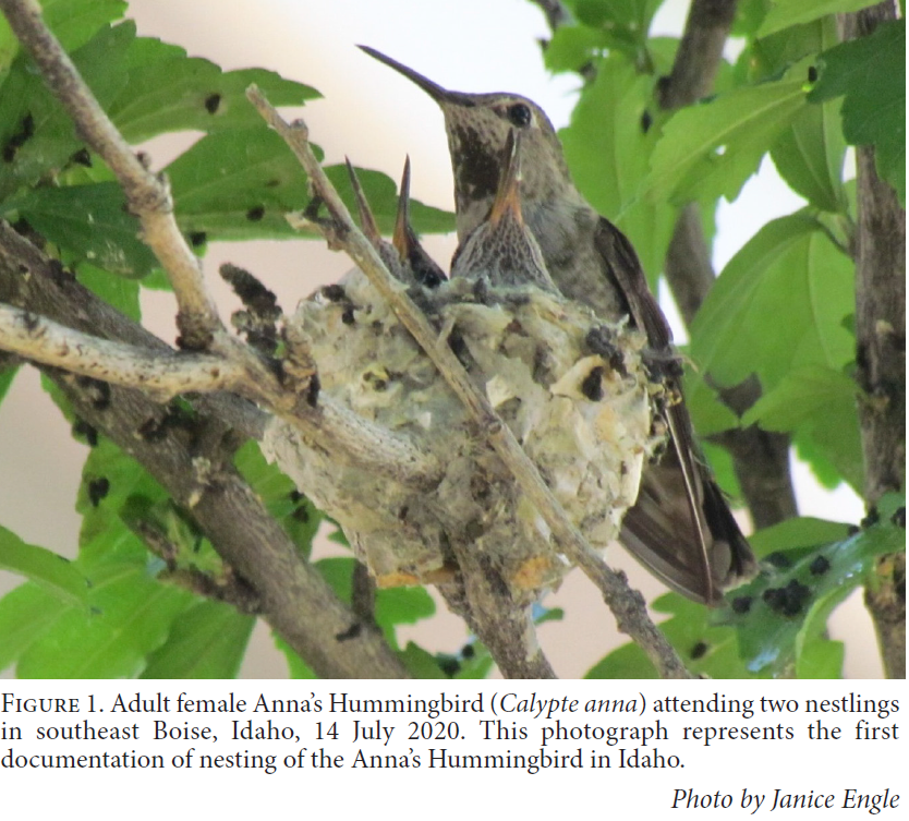 "a photo of a female Anna's hummingbird sitting on her nest with two nearly full grown chicks inside. the figure caption reads: ""Figure 1. Adult female Anna's Hummingbird attending two nestlings in Southeast Boise, Idaho. 14 July 2020. This photograph represents the first documentation of nesting in Idaho. Photo by Janice Engle"