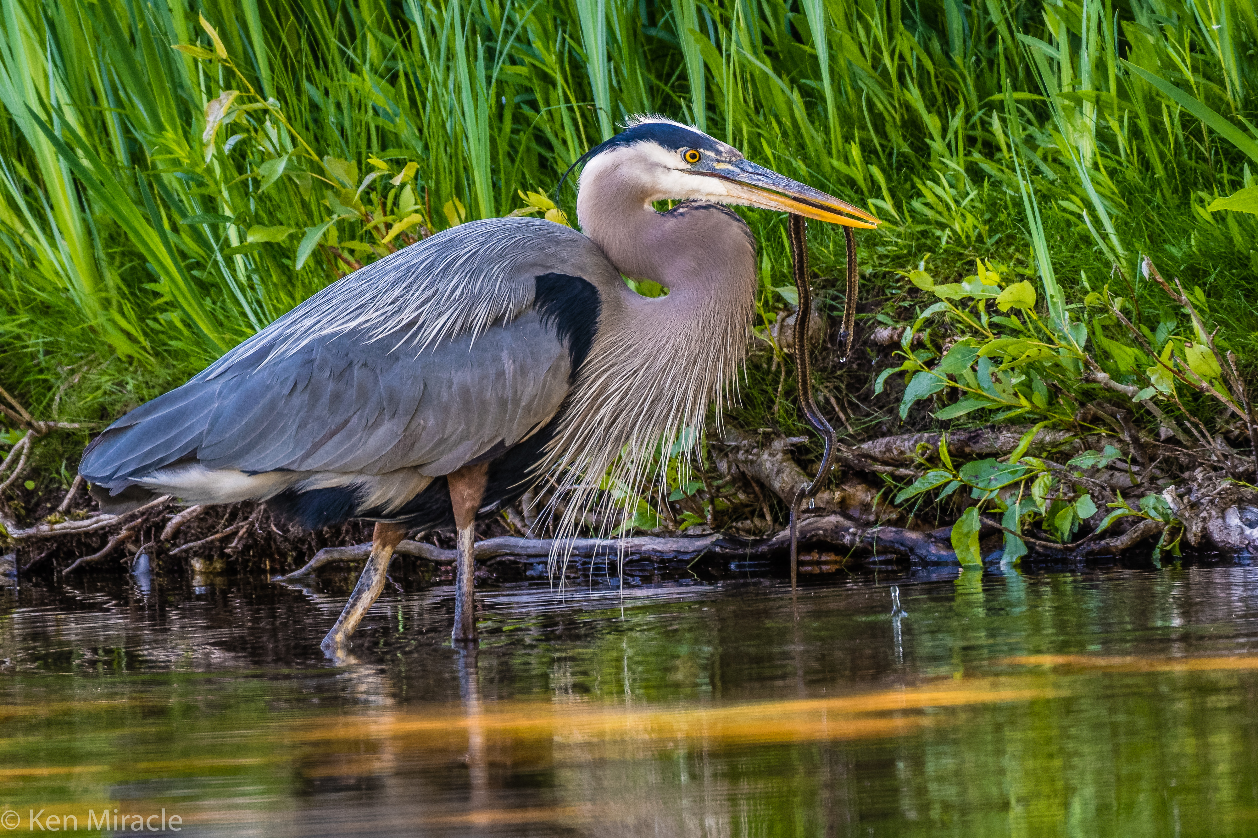 a heron wades in the water with reeds and grass in the background
