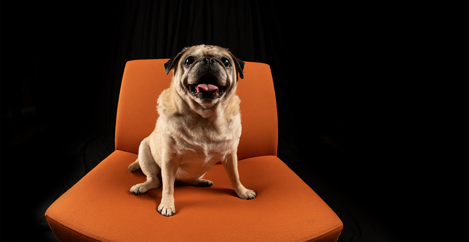 Pug sitting on a chair in a studio.