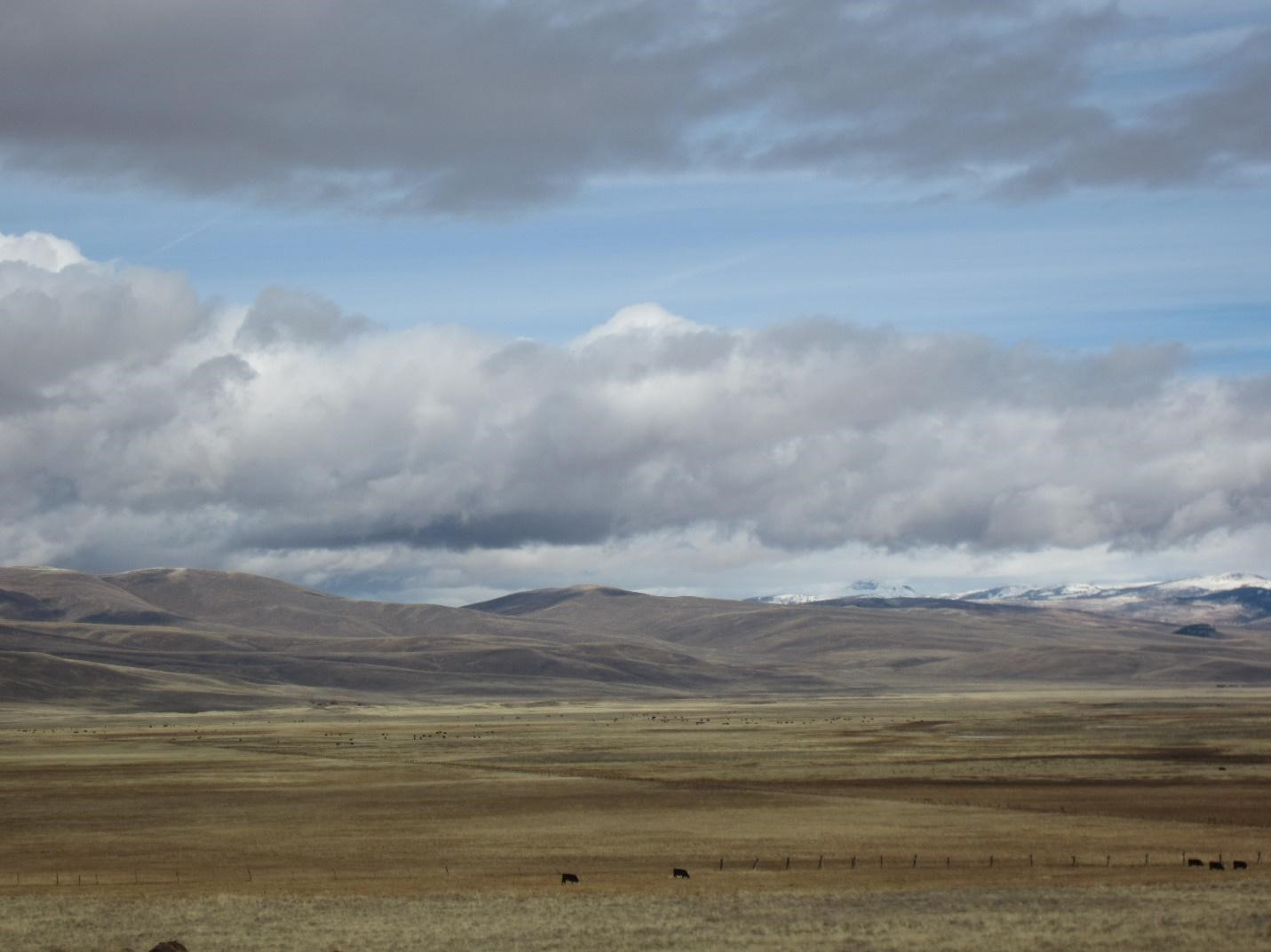Cows grazing on rangeland near foothills and snow-capped mountains on a cloudy day.