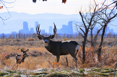 Dear and fawn are in field, but urban sky line of tall buildings can be seen behind them.
