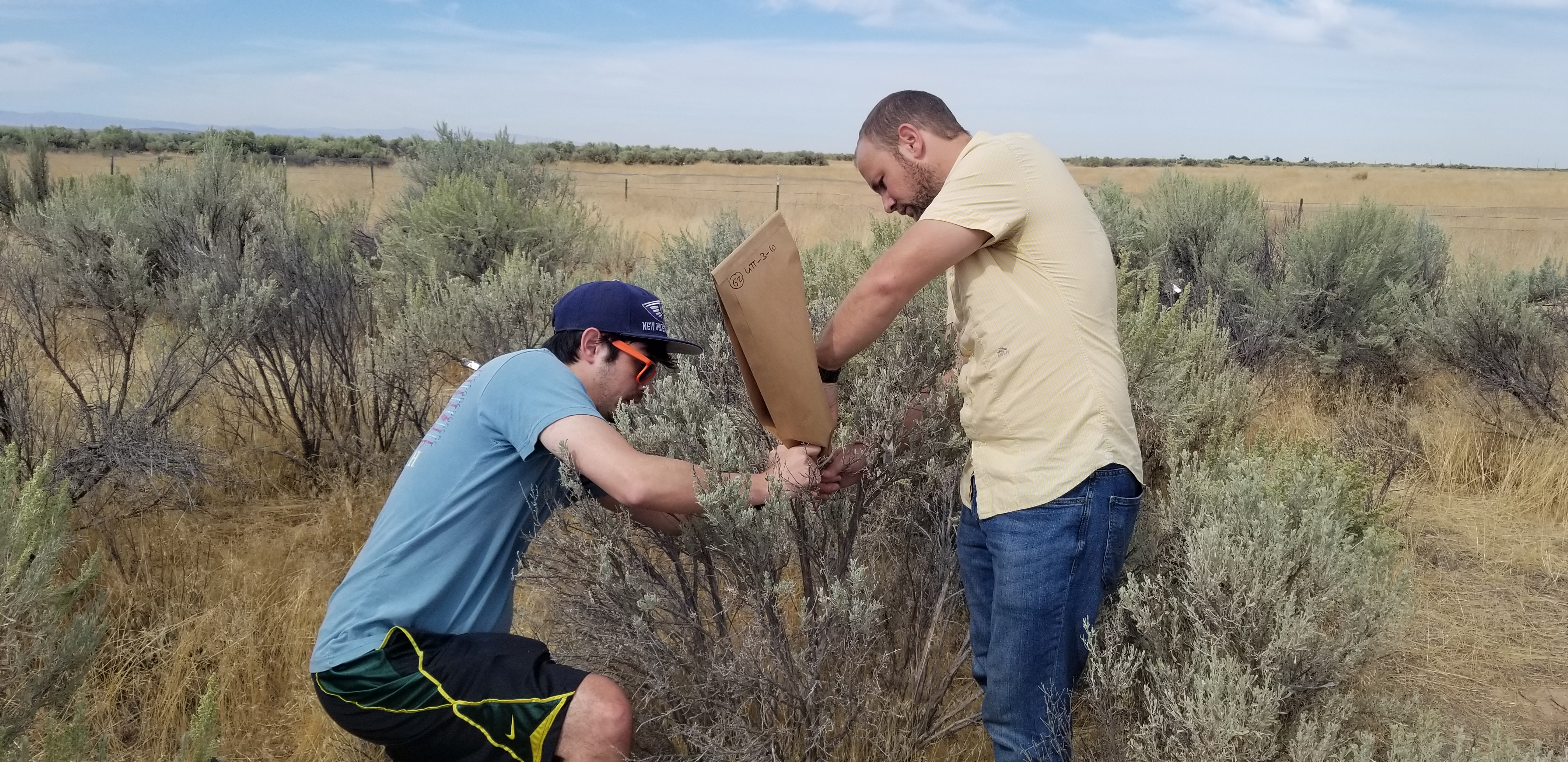 Two men outside are putting a bag over a sagebrush to collect a sample.