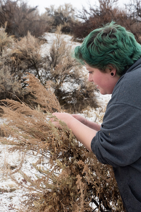Student collecting sagebrush seeds