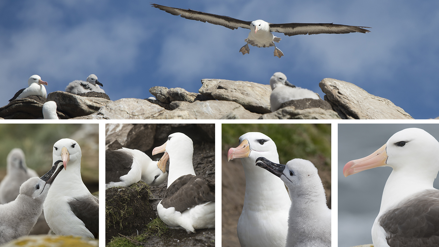 Black-browed albatross, Saunders Island