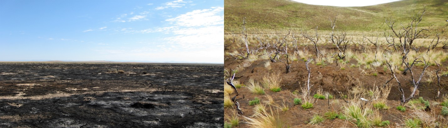 A photo of a burned area juxtiposed with a photo of healthy sagebrush