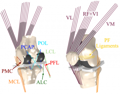 computer model of knee joints