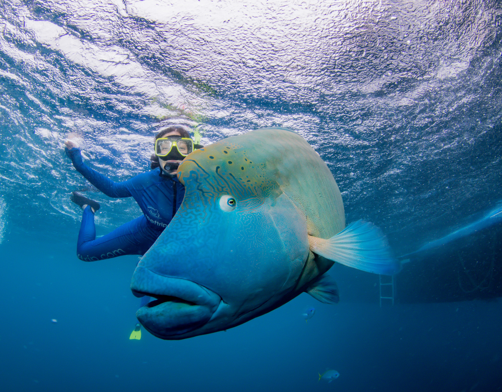 Student snorkeling with large fish