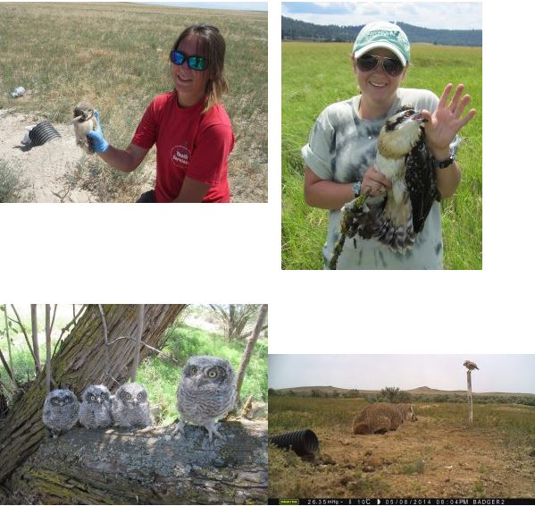 Burrwoing owls with nestlings, and grad students