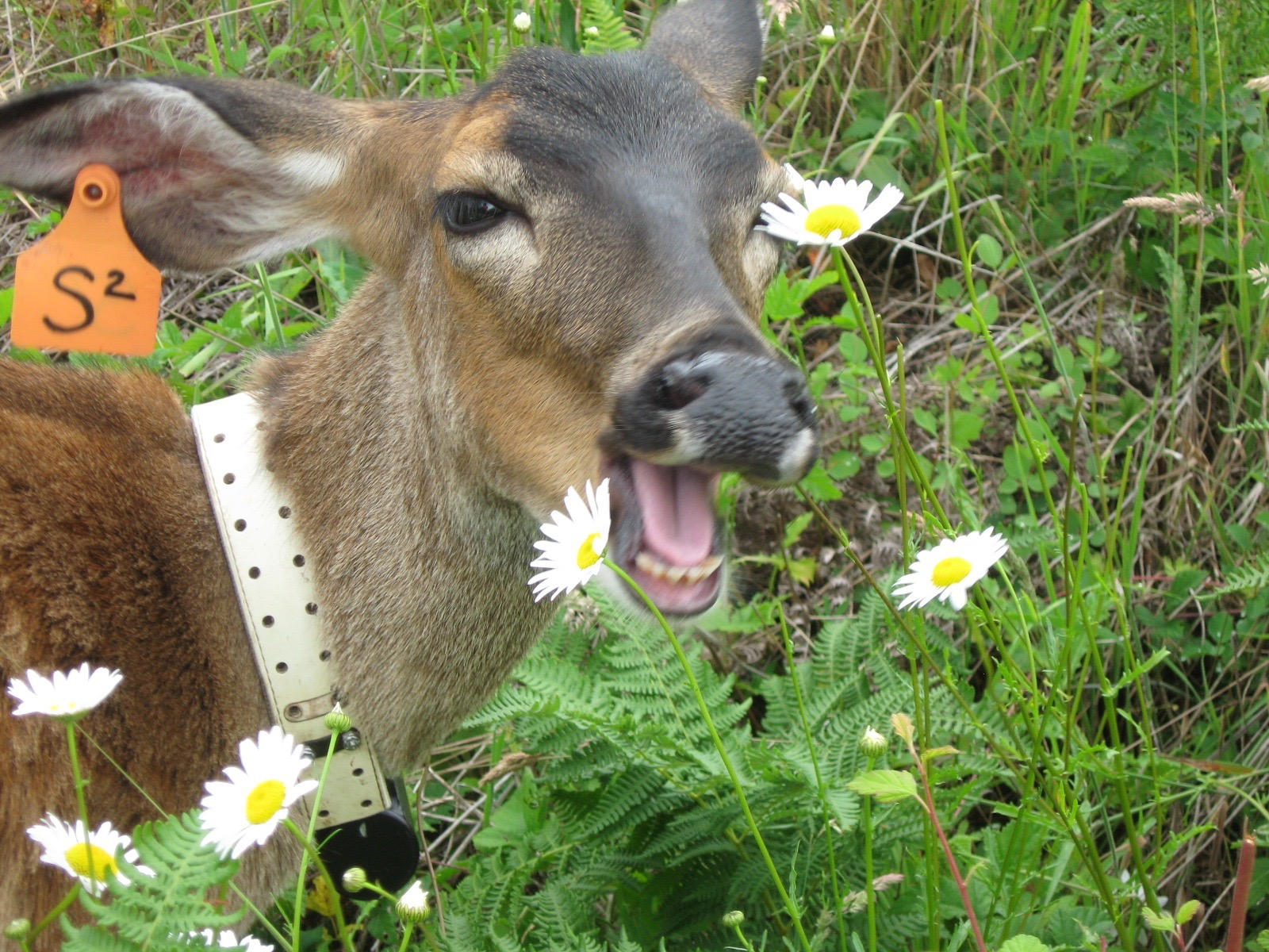 A deer tagged and collared with its mouth open in a field.