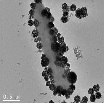 ZnO nanoparticles attaching onto bacteria cell