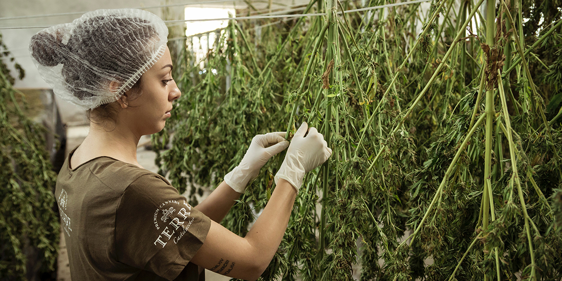 woman harvesting cannibis