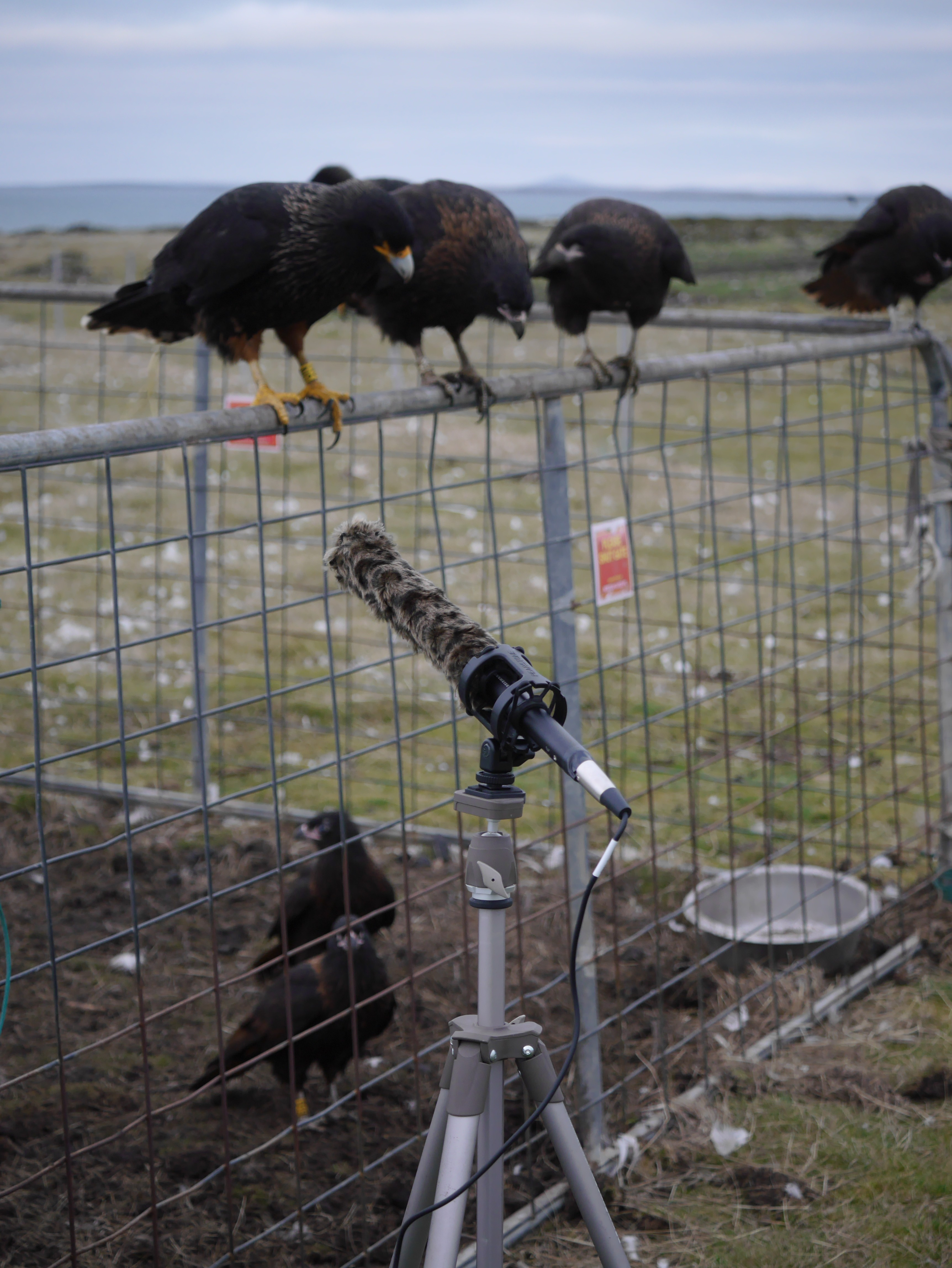 Photo of Striated Caracaras in the Falkland Islands ~ 2015