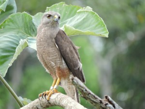 Ridgway's Hawk (Buteo ridgwayi) of Hispaniola