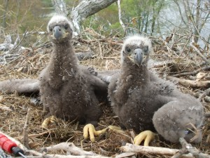Two 4-week old bald eagle nestlings at a nest in Jackson, Michigan