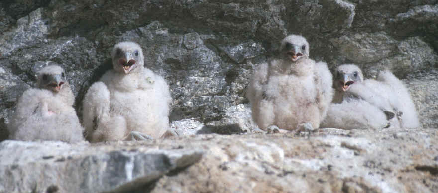 baby gyrfalcons on ledge
