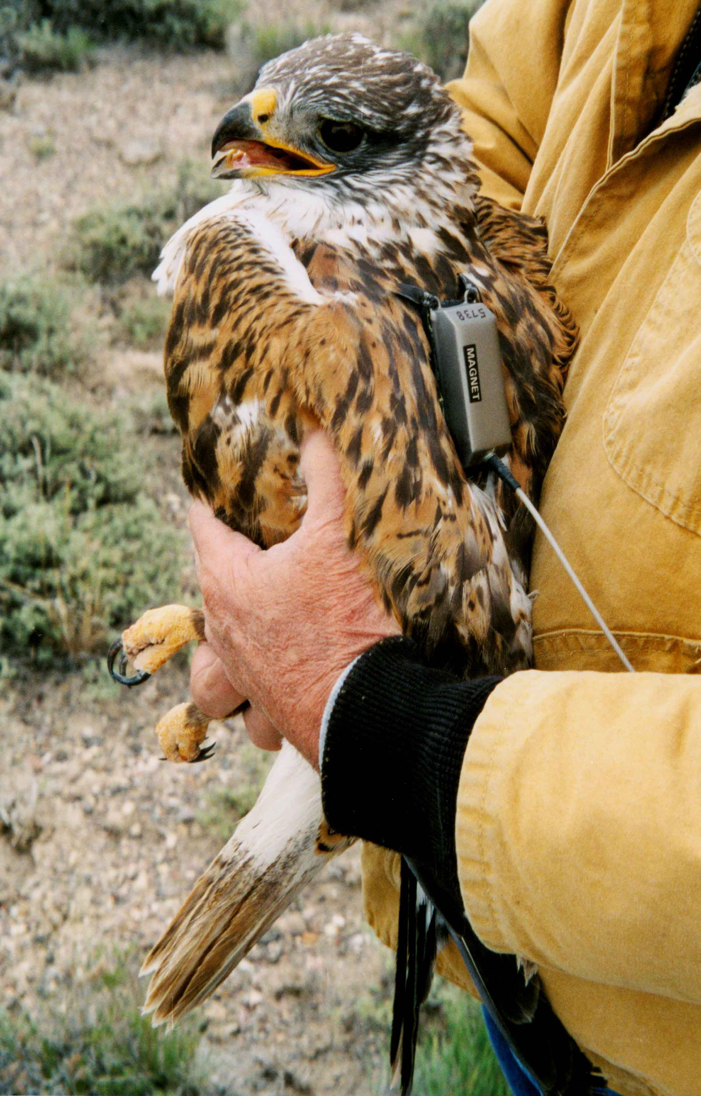 Ferruginous hawk with a transmitter being held