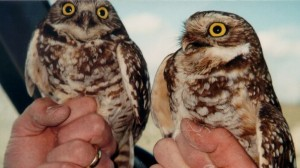 Photo of two burrowing owls sitting on hands