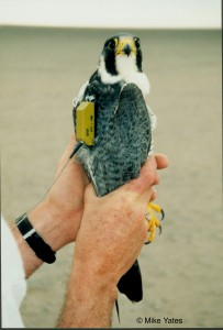 A Peregrine falcon radiomarked for satellite telemetry.