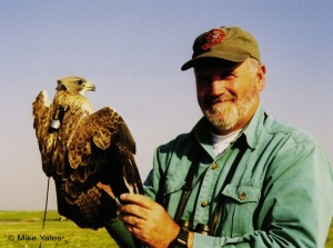 Swainson's Hawk Radiomarked for Satellite Telemetry