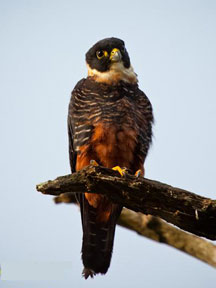 Photo of Bat Falcon