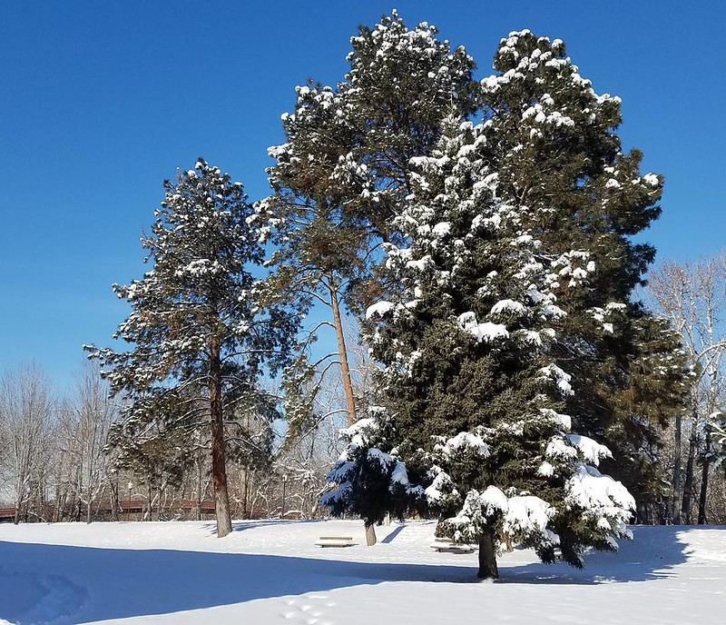 Pine trees covered in snow